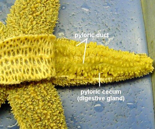 Sea Star Anatomy - Comparative anatomy